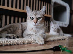 慢性腎衰竭貓咪的處方食物選擇